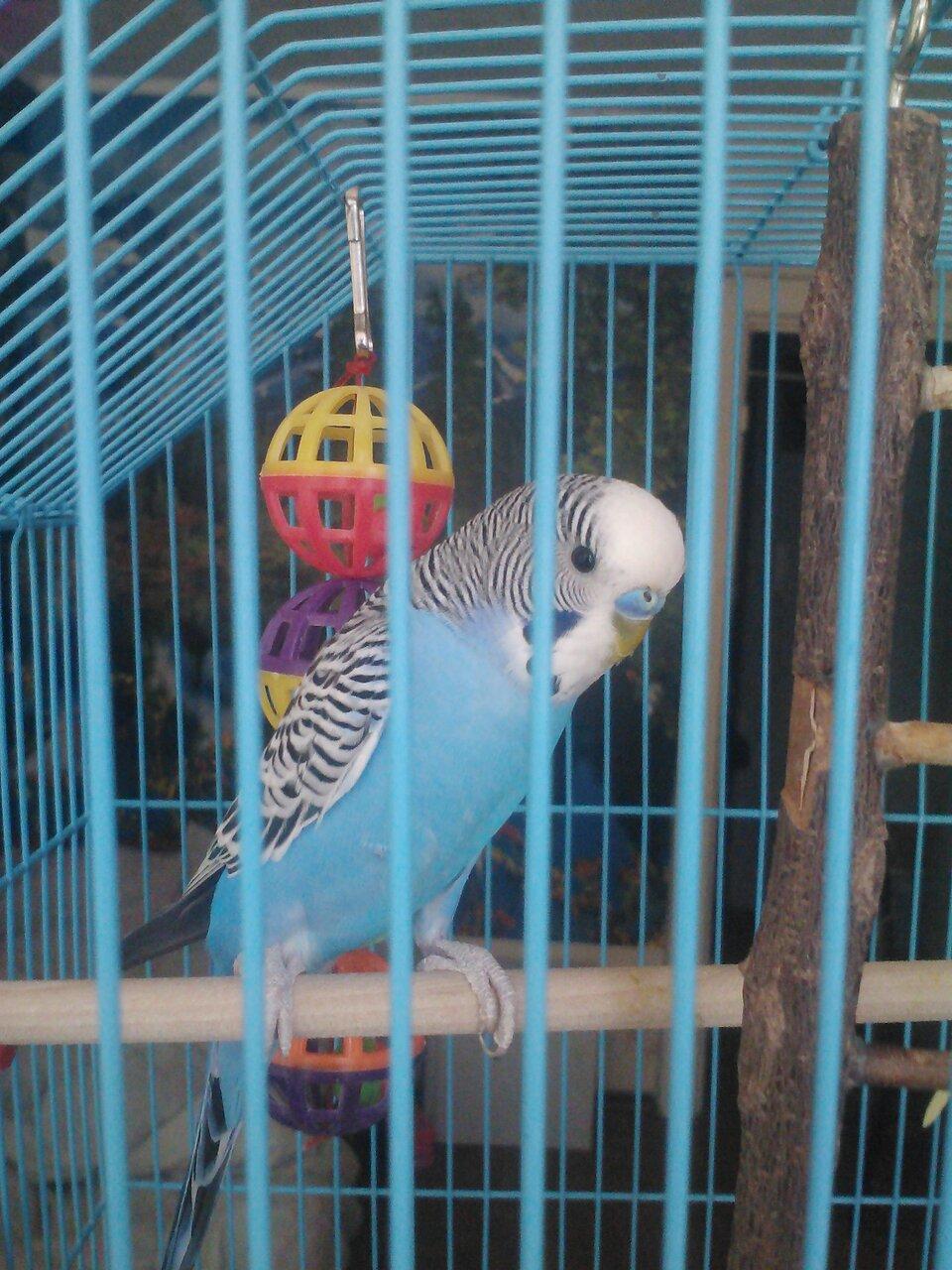 Можно ли сажать двух попугаев в одну клетку 68