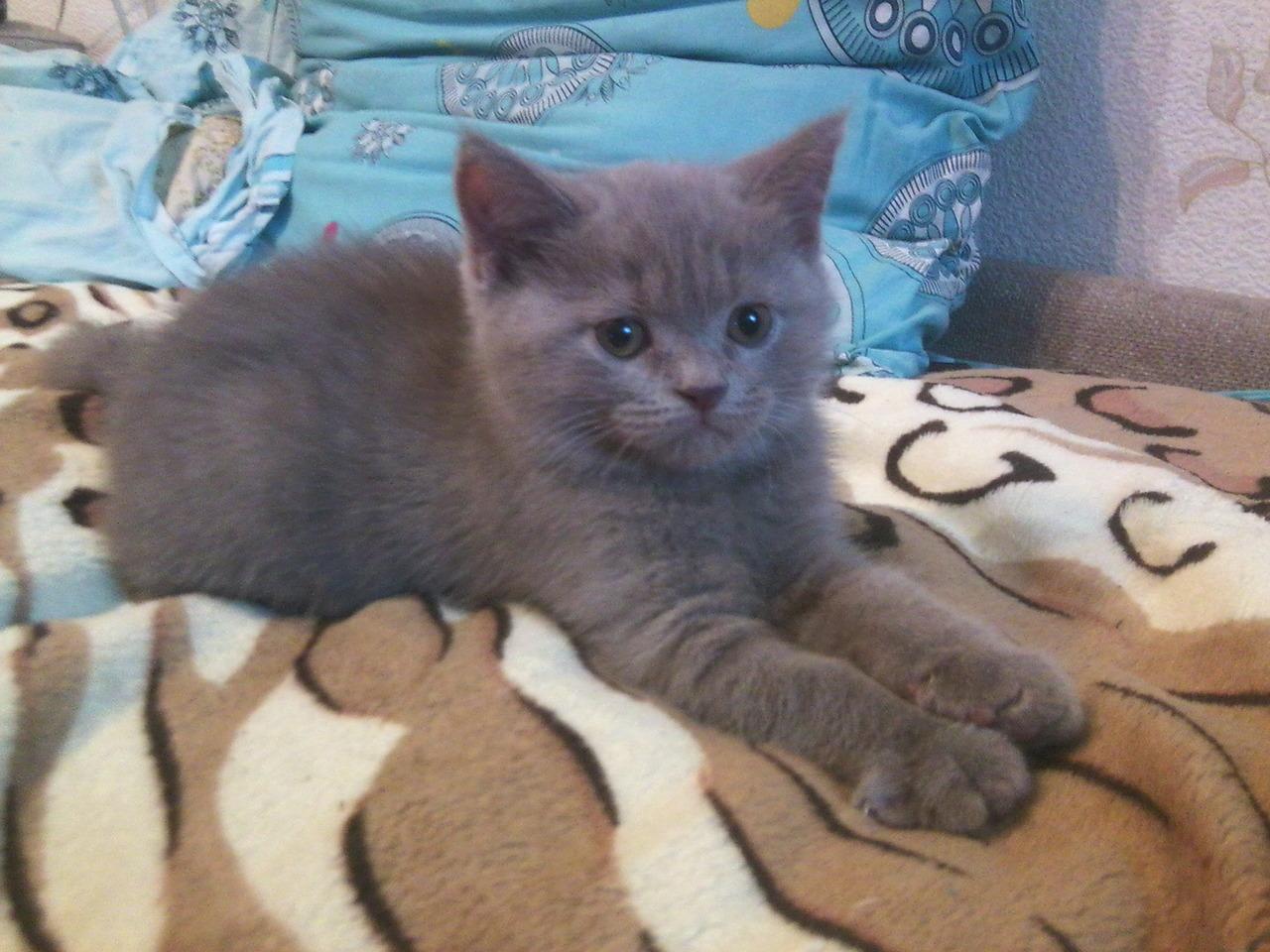 Британский котенок - 1 500 руб. - Общение - Корзина - Price-Altai.ru