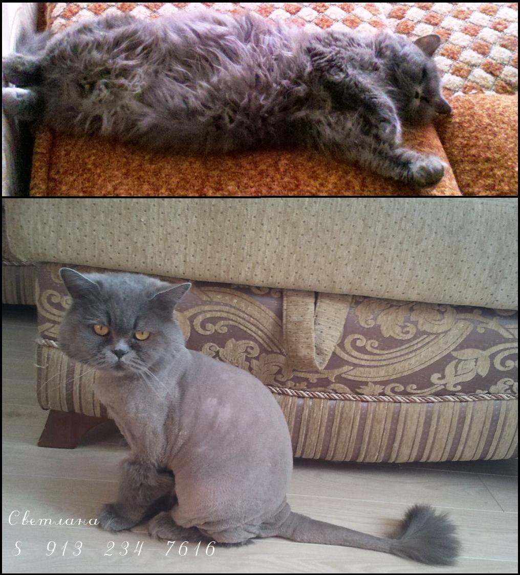 Как подстричь кота в домашних условиях : побрить самому, подстричь 251