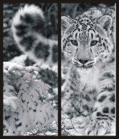 Снежный барс 2jpg