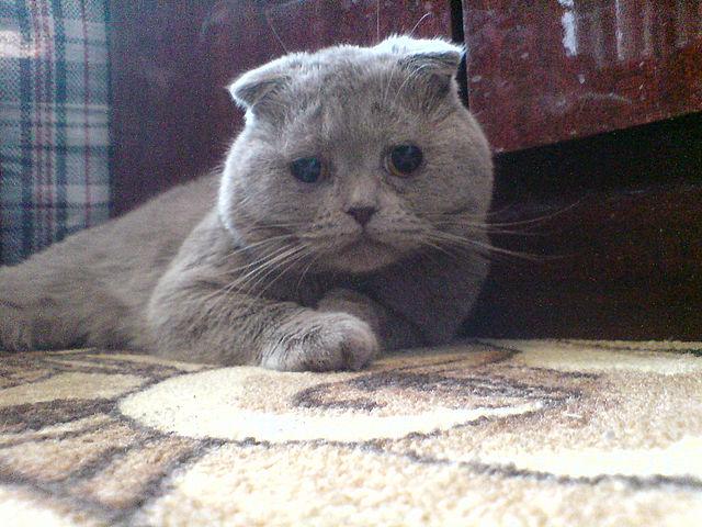 Слезятся глаза у котенка британца и он чихает